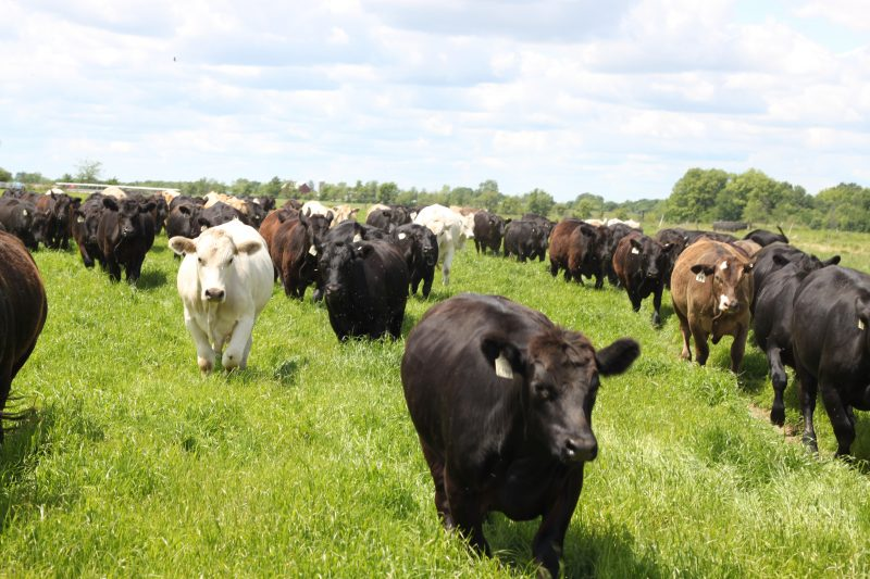 US Wellness Meats Cows