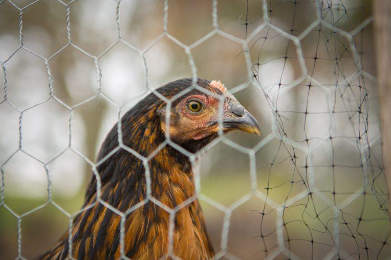 backyard chickens - black sex links