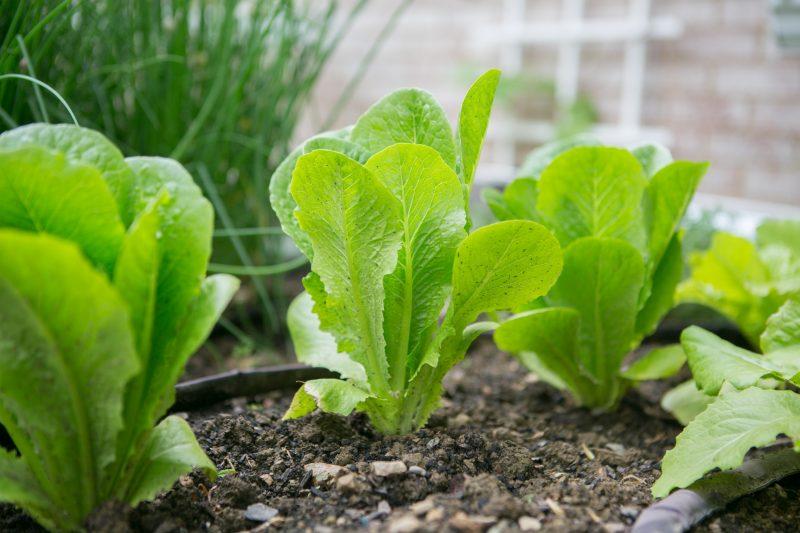 organic romaine in a garden
