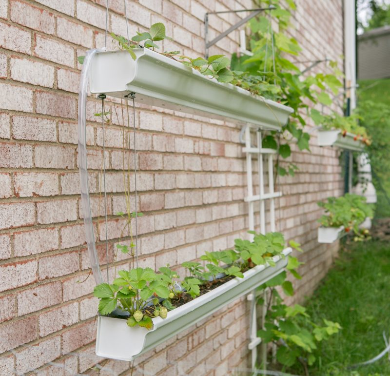 Gutter Strawberry | Strawberries Planted in Gutters-10