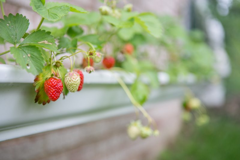 Gutter Strawberry | Strawberries Planted in Gutters-4