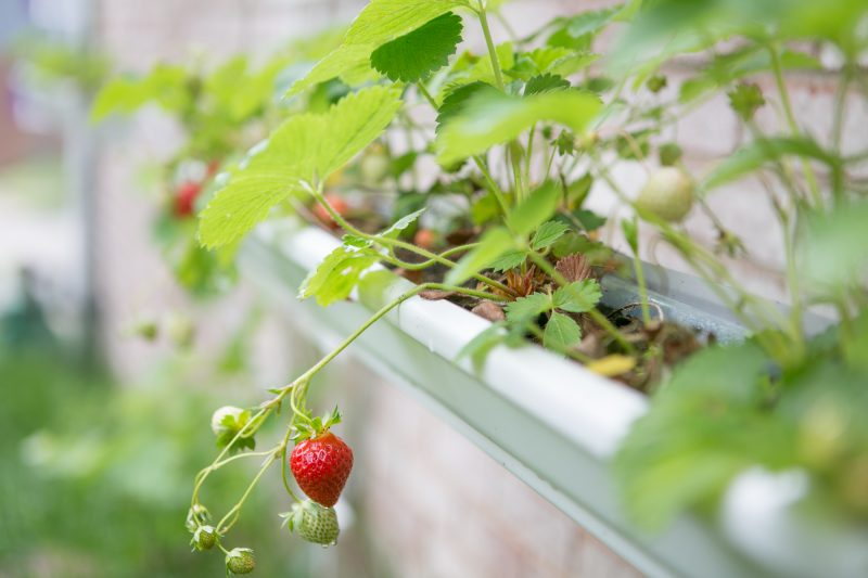 Gutter Strawberry   Strawberries Planted in Gutters-6