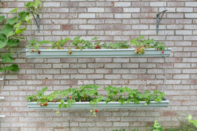 Gutter Strawberry | Strawberries Planted in Gutters-8