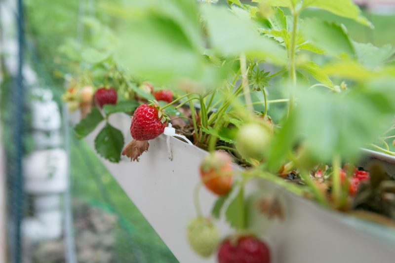 Gutter Strawberry | Strawberries Planted in Gutters-9